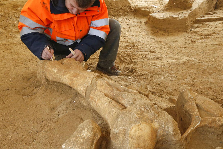 En arkæolog arbejder på at fritlægge en enorm knogle fra den mere end 125.000 år gamle mammut, som arkæologerne har givet kælenavnet 'Helmut'.