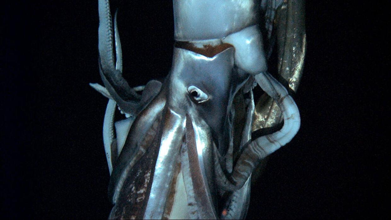 Den imponerende kæmpeblæksprutte er for første gang blevet fanget på film i hjemlige omgivelser.