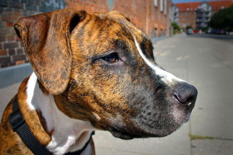 Politiet har beslaglagt kamphunden af racen Amstaff, fordi den er brugt som våben.