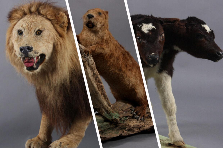 Lauritz.com Esbjerg sælger over en længere periode en meget stor samling udstoppede dyr. Dyrene stammer alle fra 'Grindsted Zoo Museum' personificeret ved Hans Filskov Larsen - kaldet 'Fugle-Hans' - fra Grindsted.