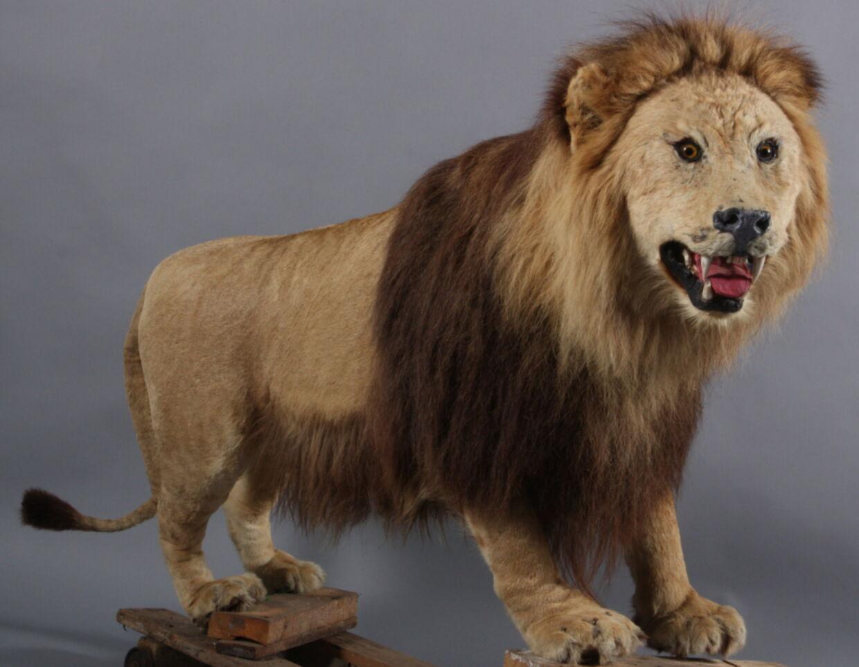 Den stående hanløve fik torsdag aften en ny ejer, da en anonym køber fik hammerslag med et bud på 15.500 kroner. 'Mufasa' har måske ikke et helt autentisk løve-udtryk efter udstopningen, men han var nu alligevel vurderet til 25.000 kroner.