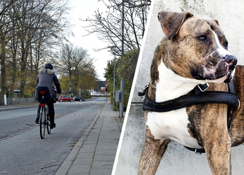 Det var på fortovet her på Anders Borksvej i Aalborg, at to hunde af racen Amerikansk Staffordshireterrier angreb en løber. det var ikke hunden til højre, men en af samme race.