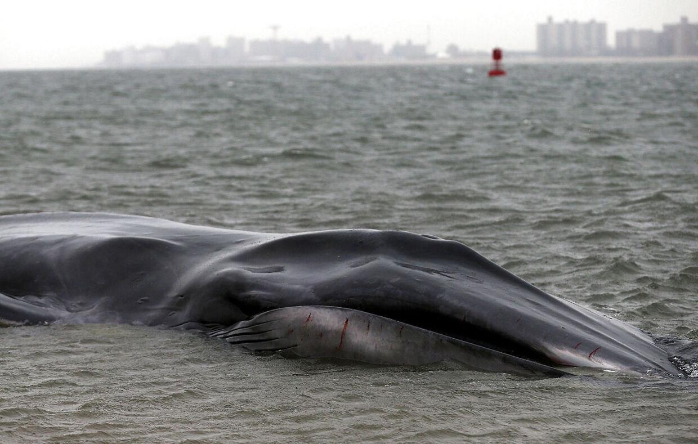 En stor hval er skyllet op på kysten ved New York.