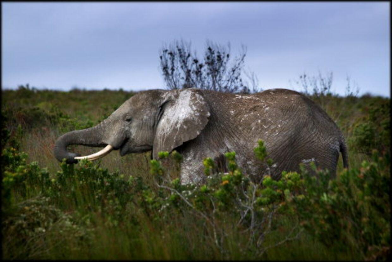 Følg B.T. Rejsers jagt på Kruger Parks fem safaristjerner: Løven, leoparden, bøflen, næsehornet og elefanten.  Foto: Bax Lindhardt