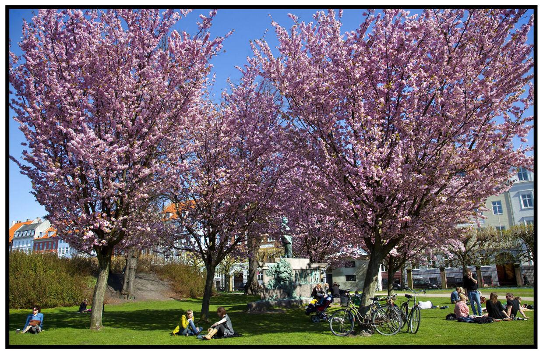 Der er godt nyt i DMI's langtidsprognoser: Snart kan vi glæde os til helt op til 20 graders varme. Billedet er fra sidste år, da de japanske kirsebærtræer sprang ud i Kongens Have i København.