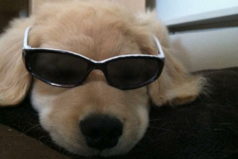 Fuldstændig som sin navnebror Ray Charles, skjuler hvalpen Ray Charles også jævnligt sine blinde øjne bag solbriller.