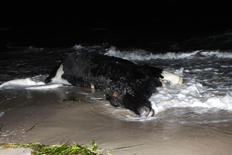 Tirsdag eftermiddag d.7. januar 2014 dukkede en opsprættet ko op ved Skælskør. Det er den tredje, der er drevet ind på Sjælland og Lolland, mens der også i Sverige er fundet tre døde køer. (Foto: René Lind/Scanpix 2014)