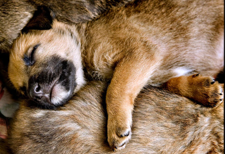 Hundehvalpe som denne, hvis fader er ukendt, risikerer at få dødssprøjten af Venstre.