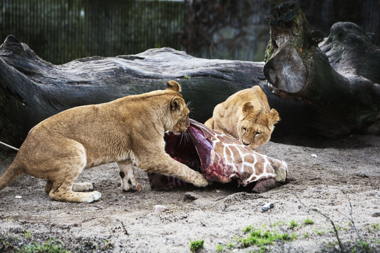 A picture made available on 11 February 2014 showing lions feasting on the remains of two year old giraffe Marius at Copenhagen Zoo 9th February 2014 after the mammal was put down earlier in the day. Although thousands had signed an online petition and other european zoos had offered to take it, the giraffe was put down. The zoo said it had no choice because of its duty to avoid in-breeding. Part of the carcass was being used for research