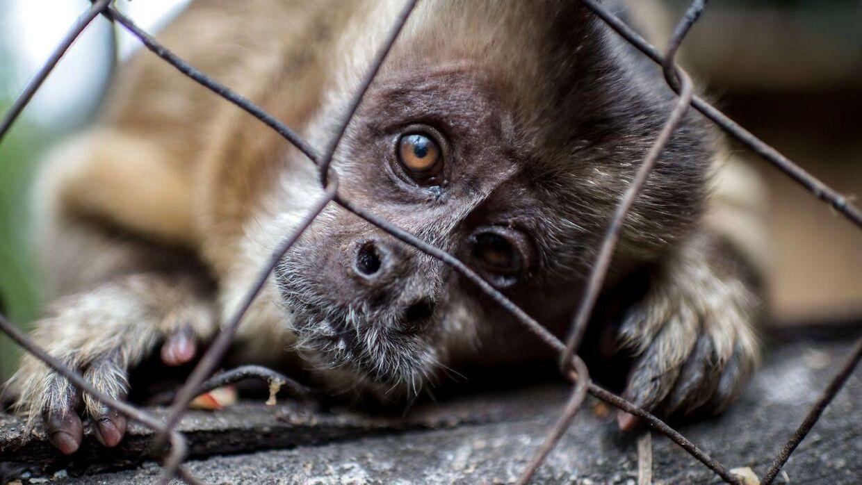Capuchin-aberne er blandt de frysende tropedyr, som Odsherred Zoo har måttet flytte, efter fyret, som skal holde dyrene varme, er holdt op med at fungere. Billedet stammer ikke fra Odsherred Zoo.