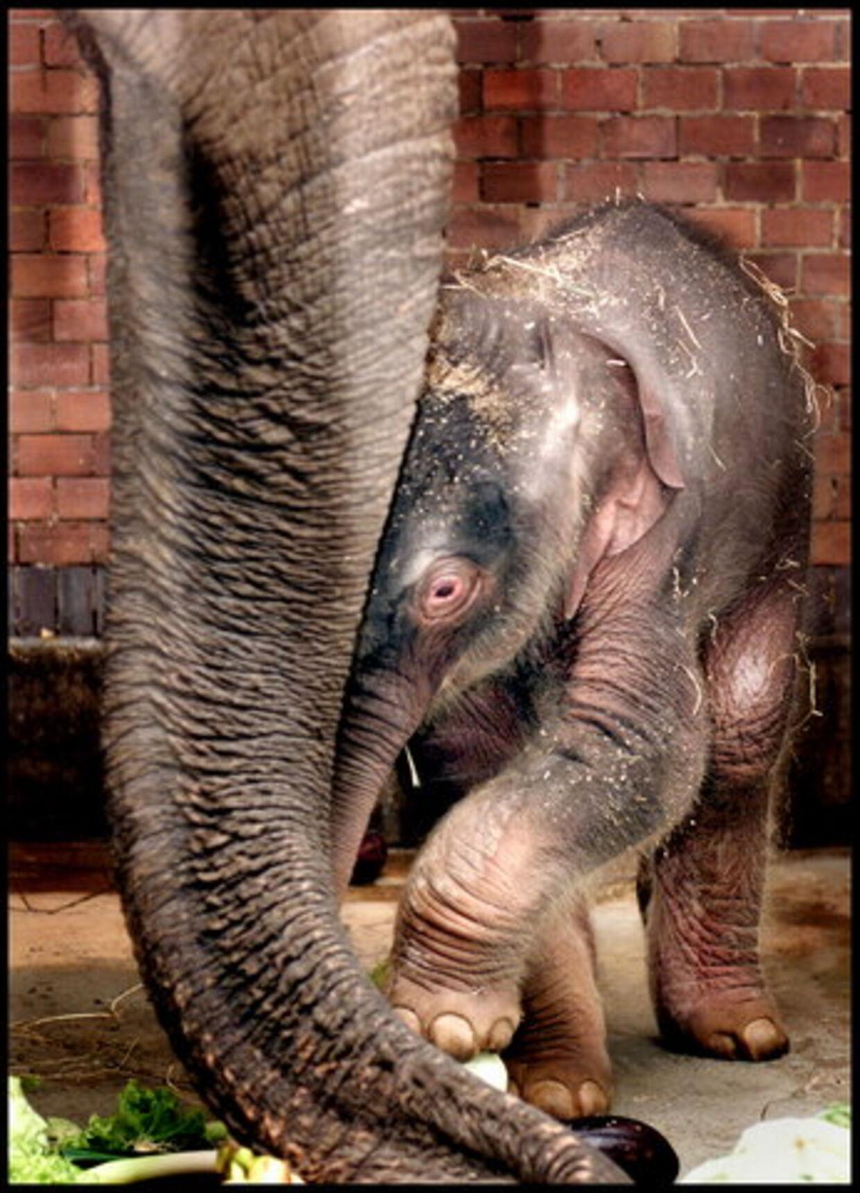Elefantungen Punjab fik sit navn af B.T.s læsere, som sendte deres forslag ind. Sandsynligvis var det en alvorlig maveinfektion, der tog livet af den lille elefant, kun et par uger efter at dens tante Coco bukkede under for en bakterie-infektion. Her ses Punjab sammen med sin mor, Ida. Arkivfoto: Bax Lindhardt