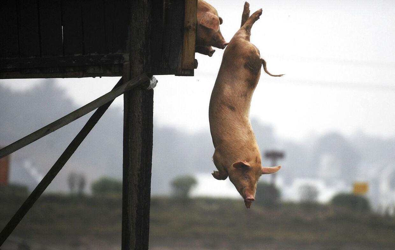 En gris tager et hovedspring fra 3-meter platformen.