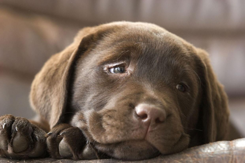 Forskerne mener nemlig at vide, at det ofte skyldbevidste ansigt, der følger i kølvandet, når hunden har lavet ballade, ikke viser skyldfølelse fra hundens side.