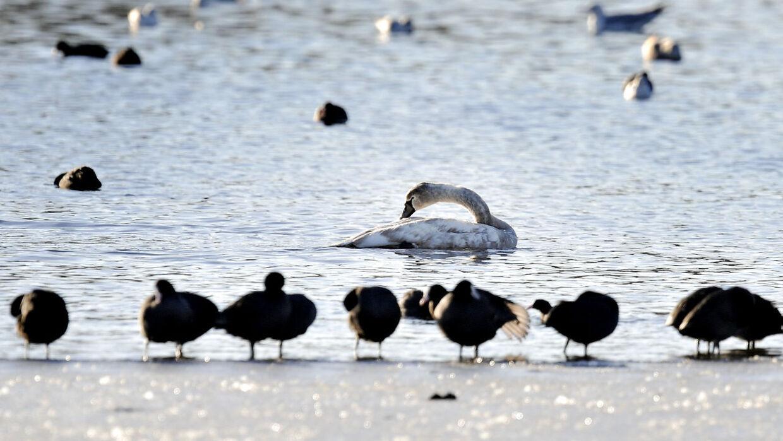 Vinteren er ved at bide sig fast og mange små søer er frosset til. Derfor er de søer hvor der stadig er åbent vand stort besøgt af fugle der leder efter føde. Her ved en våge ved Vejle Å dal.