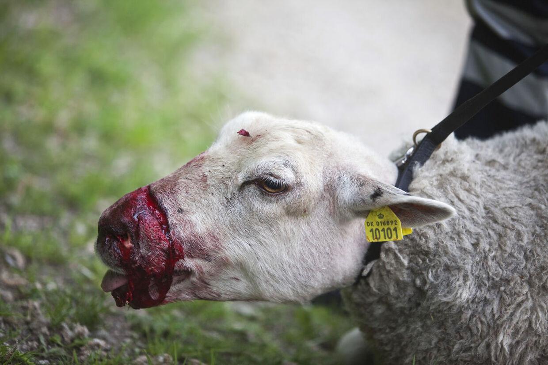 Efter angrebet var et af fårene så slemt skambidt, at det måtte aflives på stedet (arkivfoto).