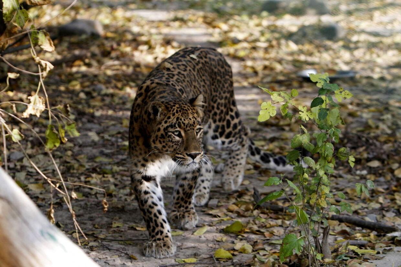 En to-årig lille pige blev i lørdags dræbt af en glubsk leopard