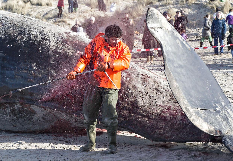 To kaskelothvaler strandende søndag d. 16 februar 2014 på Henne strand. Dagen efter d. 17. februar venter hvalerne på at blive flyttet til hvide sande hvor de skal obduceres.