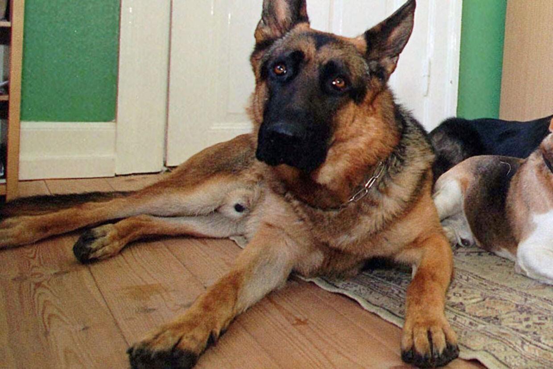 De nye madrasser vil især kunne hjælpe store hunde mod gigtens plager.