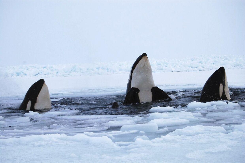 Omkring 11-12 spækhuggere er fanget under isen i Canada. Kun et lille hul i isen giver dem mulighed for at trække vejret.