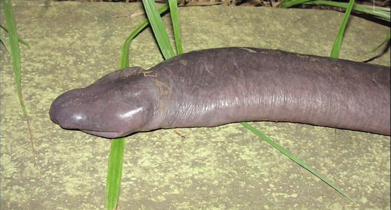 penis ligner