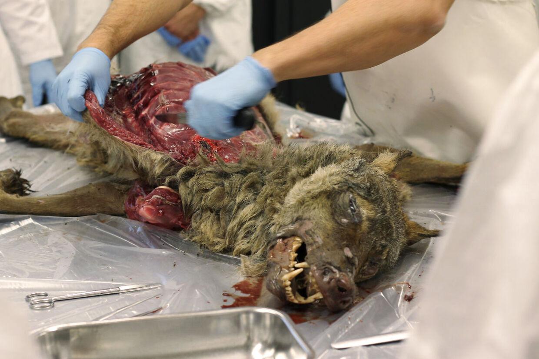 Obduktionen af ulven fra Nordjylland viste, at det rent faktisk var en ulv