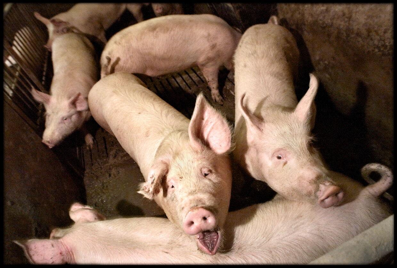 Femten millioner danske grise vokser i dag op på genmodificeret soja eller majs dyrket i udlandet.
