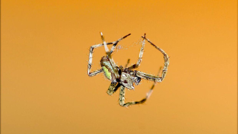 dør edderkopper når man støvsuger dem