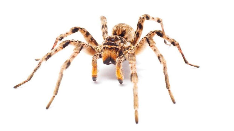 hvor mange edderkopper spiser man