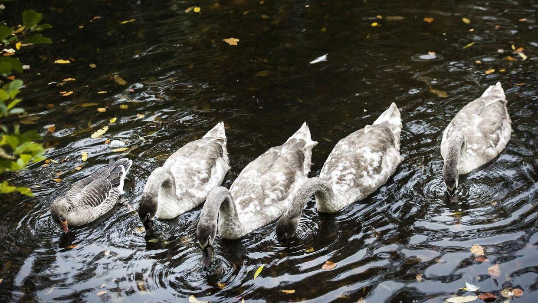 En gås er blevet adopteret af en svanefamilie i søen i Fælledparken.