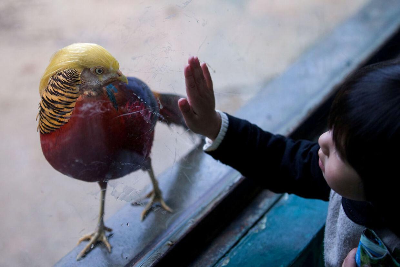 Fuglen, der er en guldfasan, er blevet et hit i den safaripark, hvor den hører hjemme og online.