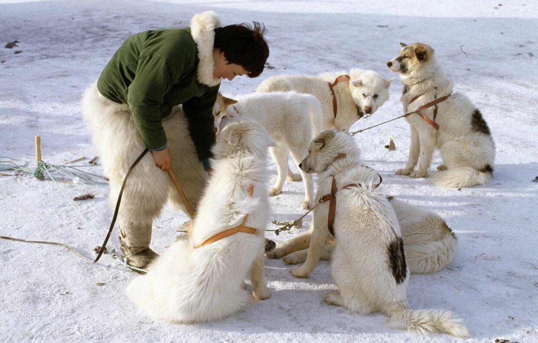 Inuk gør slædehundene klar.