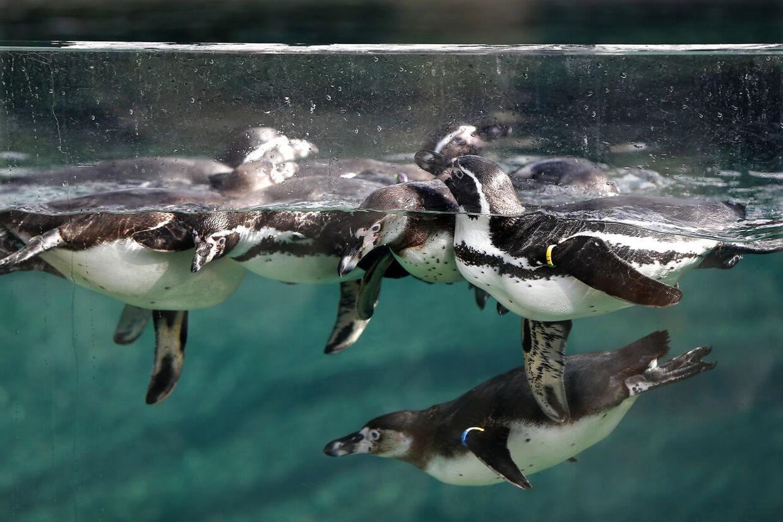 Humboldt-pingviner svømmer har rundt i en europæisk zoo, nemlig Paris Zoological Park.
