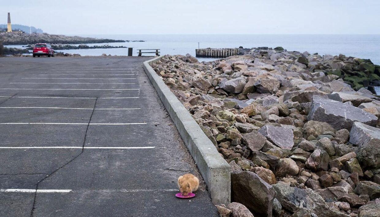 Vilde katte på Allinge Havn.