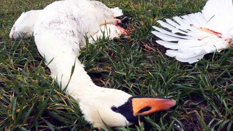 En fuldvoksen svane mistede livet på en mark ved Dybsø Fjord efter at have ramt højspændingsledningerne.