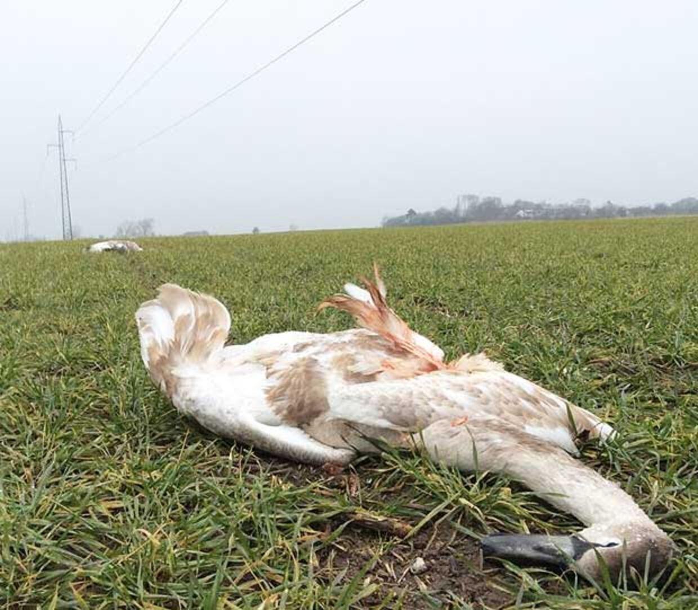 Der ligger omkring 25 døde svaner på marken.