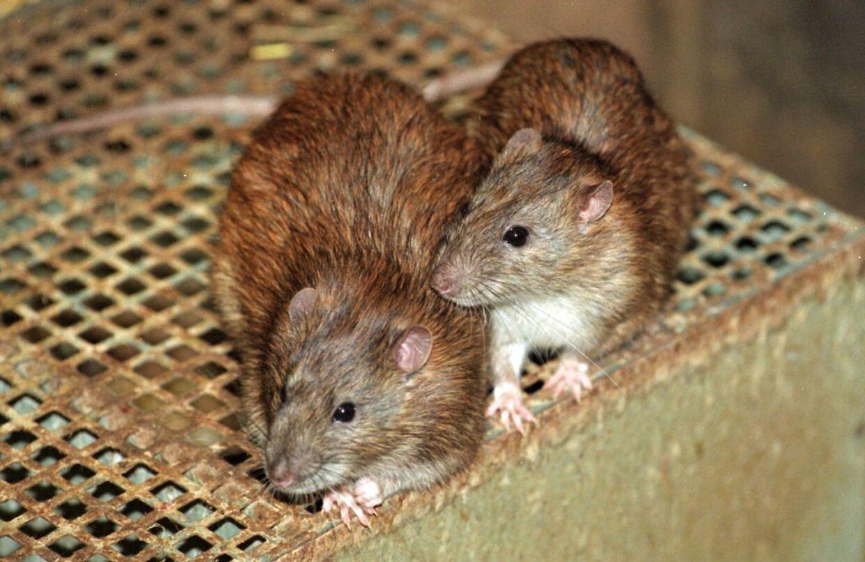Se Ritzau: Rotter stortrives i den lune vinter. En varm sommer og en lun vinter har givet et rekordår for rotter. Nu er tallene ved at blive gjort op for 2014, og der er flere rotter end i mands minde. ARKIVFOTO:
