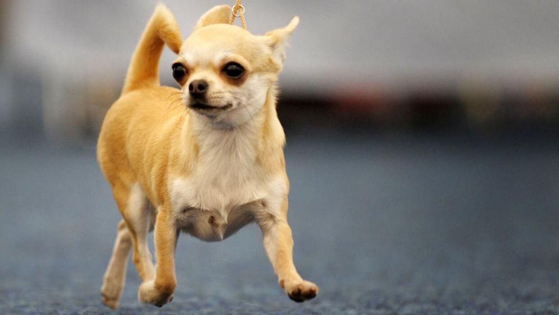 Små racehunde som Chihuahuaen repræsenterer en stor værdi og kan derfor være tyvetækkelige.