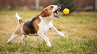 Boldleg kan stresse din hund