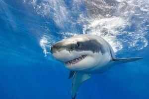 En britisk mor blev fredag eftermiddag angrebet af en haj. Hajens art er endnu ukendt. Modelfoto