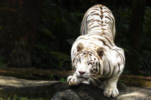 Den hvide tiger er meget sjælden - der er kun 200 tilbage i hele verdenen.