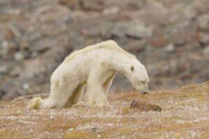 Videoen af den sultende isbjørn er gået verden rundt. Foto: Caters TV