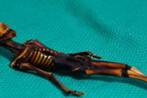 Her ses et billede af fundet i Chiles Atacama-ørken i 2003. Det lille væsen blev fundet indviklet i en læderpung bag en kirke.
