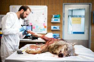 DTU Veterinærinstitut i København har modtaget en ulven, der er blevet skudt ved Ulfborg. Mikkel Høegh Post, konservator, Statens Naturhistoriske Museum undersøger ulven tirsdag den 17. april 2018. Foreløbig undersøgelse viser, at ulv blev dræbt af skud fra en riffel. En 66-årig mand er fortsat sigtet.