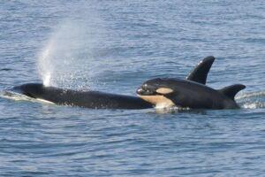 Billedet her er taget i vandet ud fra staten Washington i det nordvestlige USA: Arkivfoto