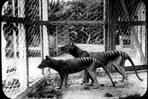 Den tasmanske tiger fotograferet i en Zoo i Hobart i 1918.