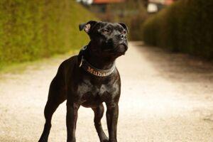 En Staffordshire Bull Terrier bed sin ejer ihjel, mens ejeren blev interviewet. ARKIVFOTO.