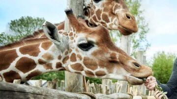 En giraf brækkede kæben og skabte dilemma i Odense Zoo: 'Skal vi aflive den?'