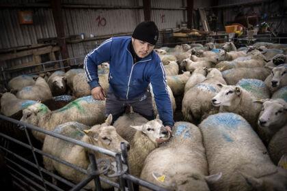 Florian fra Rumænien skiller fårene fra bukkene på Leon Sønnichsens gård.