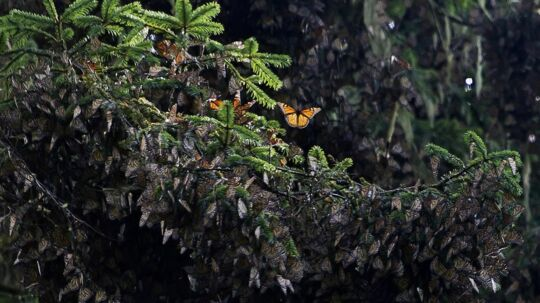 View of the first clusters of families of Monarch butterfly (Danaus plexippus) at the oyamel firs (Abies religiosa) forest in Temascaltepec, Mexico on November 12, 2015. Monarch butterflies almost quadruple the forest area they occupy during their hibernation in Mexico thanks to actions taken by the three North American governments to reduce threats faced by this species on their migration from Canada, according to the Mexican Environment Minister. AFP PHOTO/OMAR TORRES