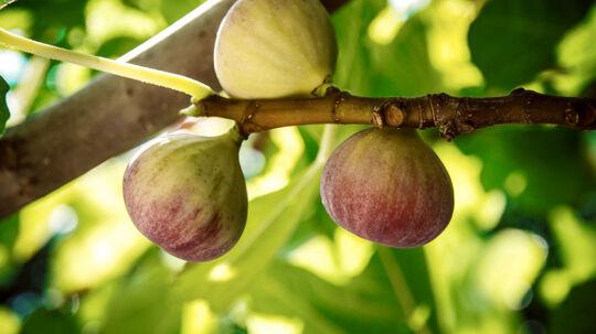 Har man købt det pågældende parti figner, skal man kassere varen eller levere fignerne tilbage til butikken, hvor de er købt, oplyser Fødevarestyrelsen.